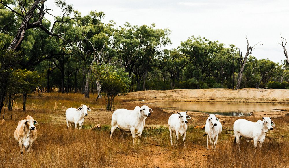 Feel free to join in a cattle muster: Crystalbrook Lodge (photo: Elise Hassey).