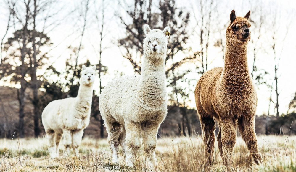 The alpacas of Glenhope B&B, Armidale (photo: Elise Hassey).