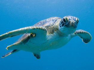 Come out of your shell and help out at the Ningaloo Turtle Program.