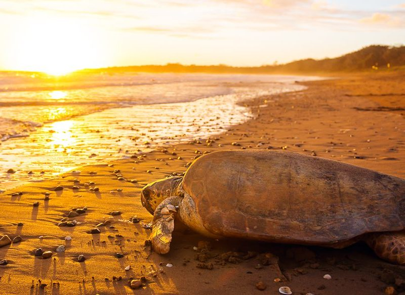 A loggerhead turtle at Mon Repos beach near Bundaberg (photo: Lauren Bath).