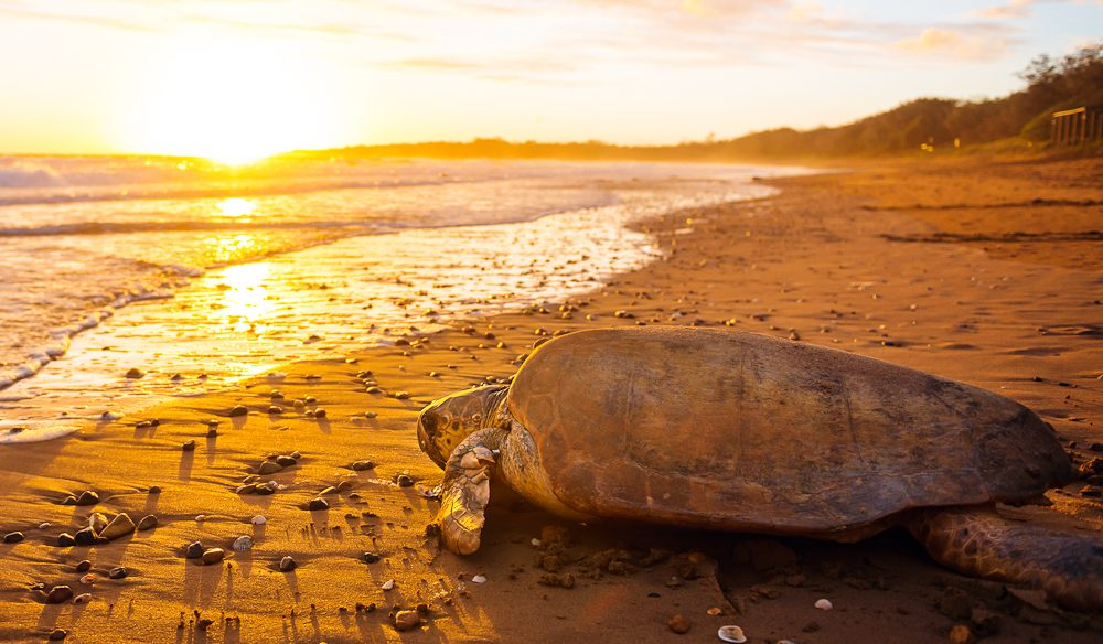 A loggerhead turtle at Mon Repos beach near Bundaberg (photo: Lauren Bath).
