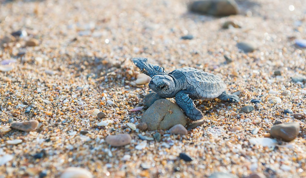 Turtle hatchlings emerge at Mon Repos between January and March (photo: Lauren Bath).