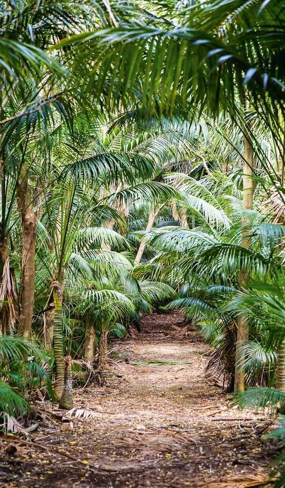 Palm forest that you walk through on the way to the mountain hikes