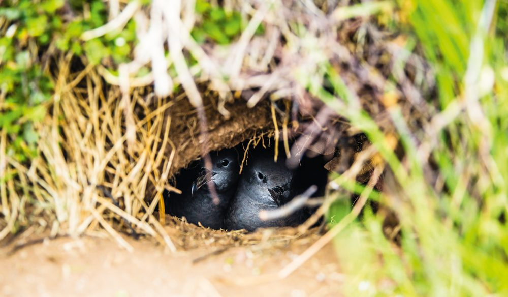 'Battening Down the Hatches' - mutton birds get cozy, Lord Howe Island (photo: Nikki To).