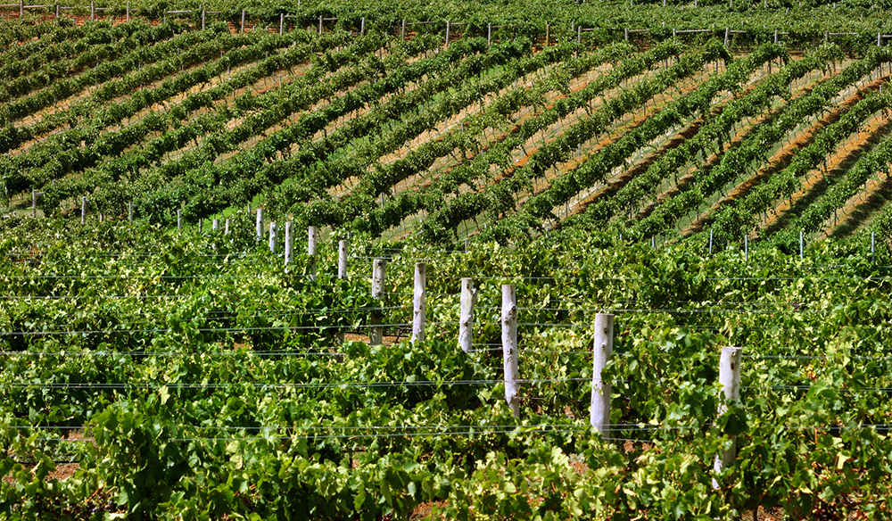 Green vineyards of Hunter Valley