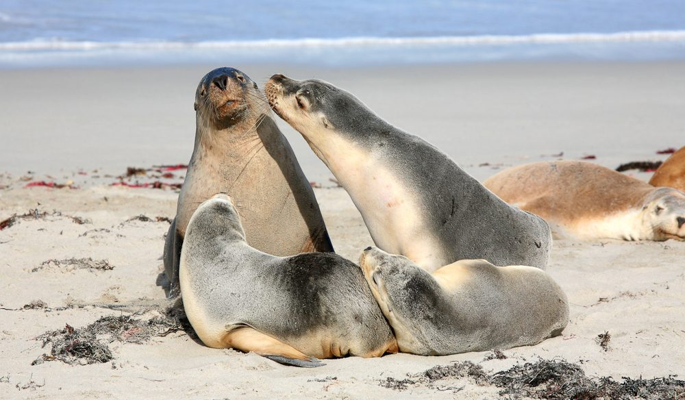 Sealed with a kiss: There are around 7000 fur seals on Kangaroo Island.
