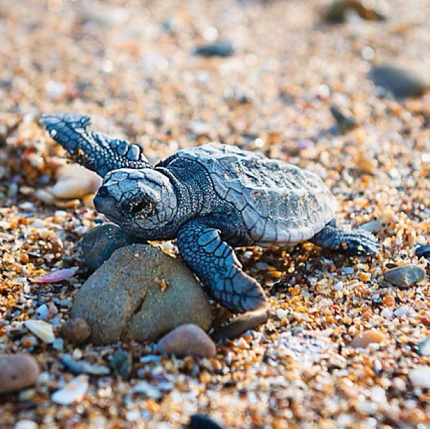 Baby flips, Loggerhead turtle, Mon Repos beach, Queensland by @laurenepbath