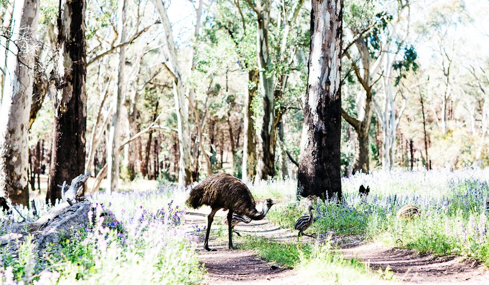 Dad tends to emu chicks Flinders Ranges