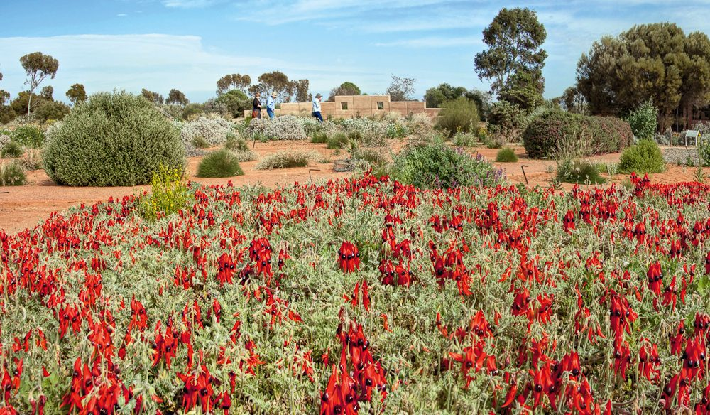 The sounds and scents of the outback: Australian Arid Lands Botanic Gardens, Port Augusta.