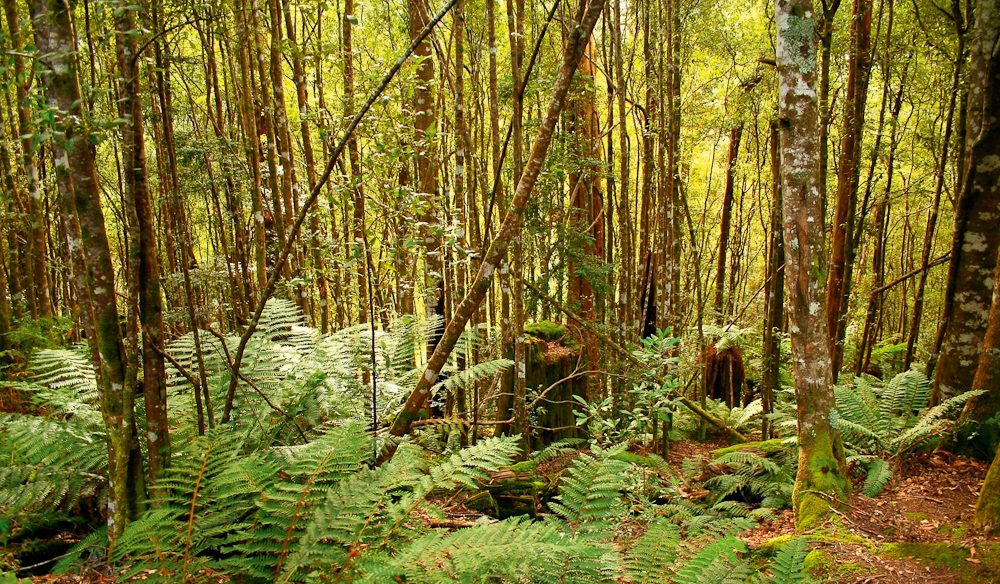 Deep in the barely touched Tarkine Rainforest Reserve, north-west Tasmania.