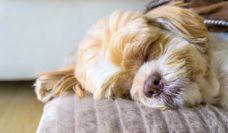 Dog and pet friendly hotels Australia