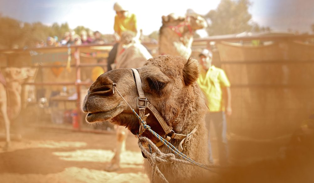 Racing focus: A Camel Cup competitor psychs up (taken through the hessian barrier) (photo: Jennifer Pinkerton)