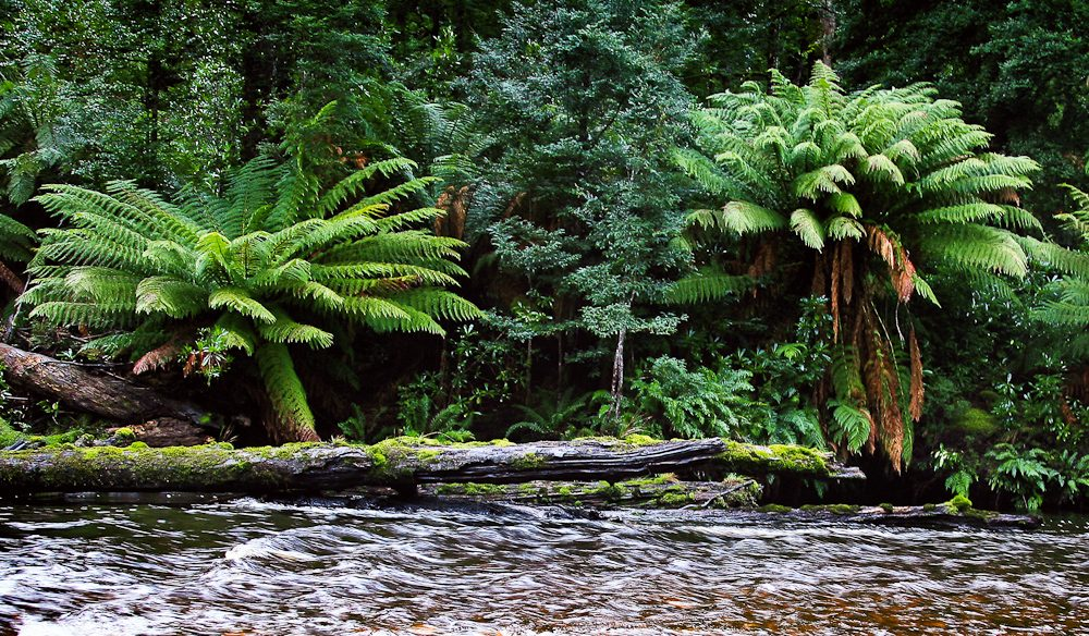 The lifeblood of the forest, the Styx River runs a tea-brown colour thanks to the fields of button grass upstream.