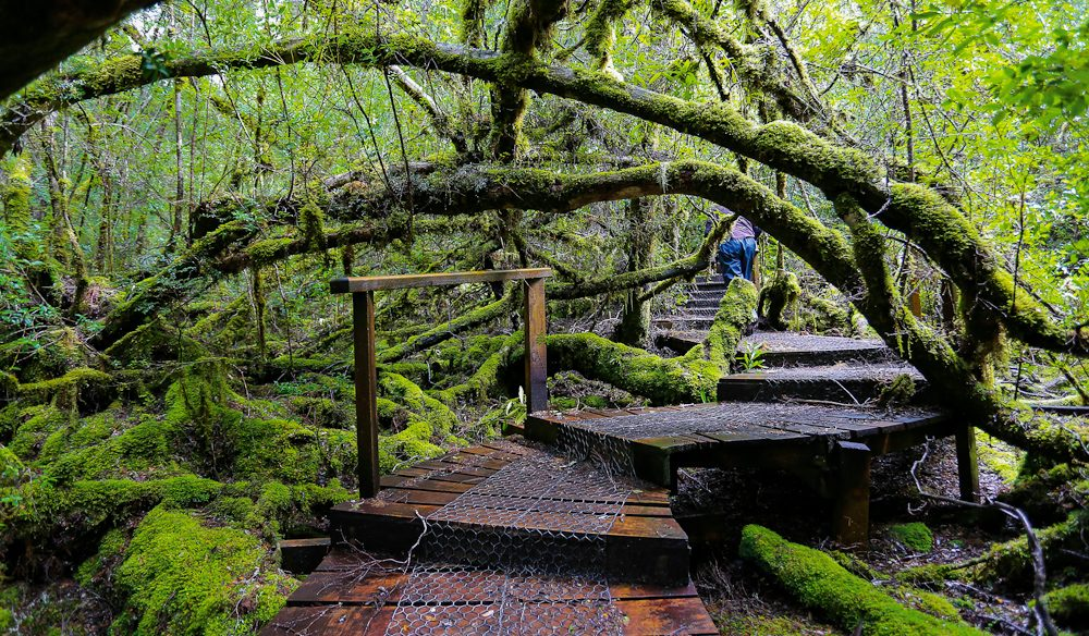Boardwalks carve  their way deep into the Big Tree Reserve, Styx Valley.