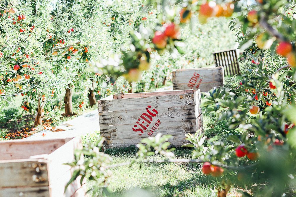 Vines and fresh Batlow apples at Courabyra Wines. (photo: Elise Hassey)