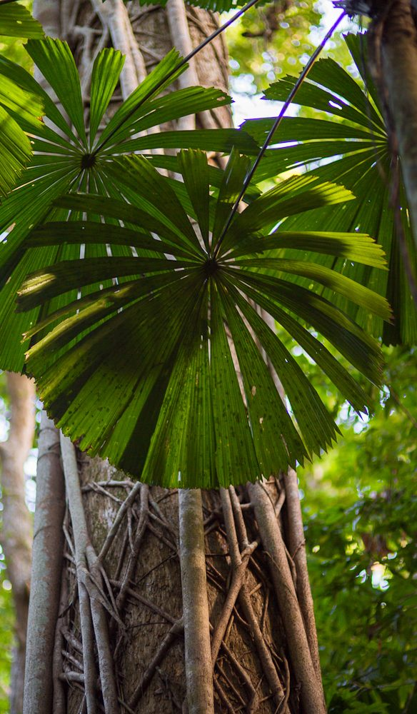 Fan palms are just one of thousands of plant species found in the Daintree (photo: Tammy Law).