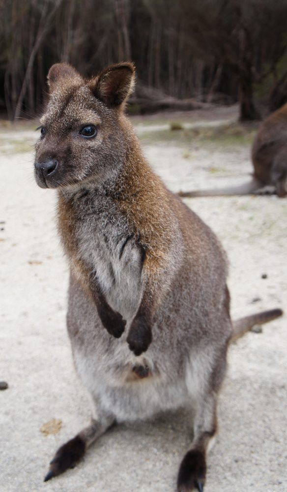 The locals (wallabies) are friendly on Flinders Island (photo: Megan Arkinstall).