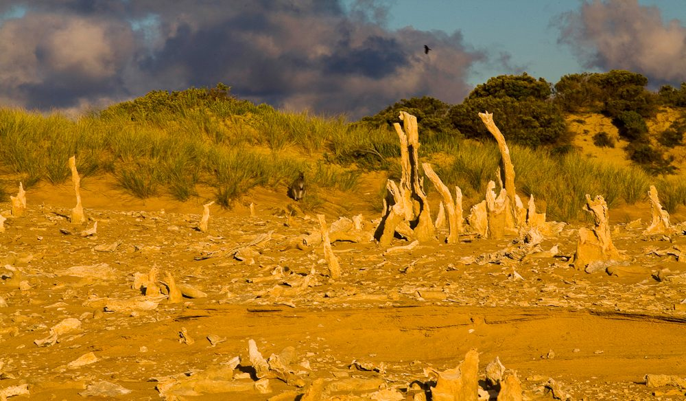 7000-year-old calcified forest: King Island (photo: Greg Noakes).
