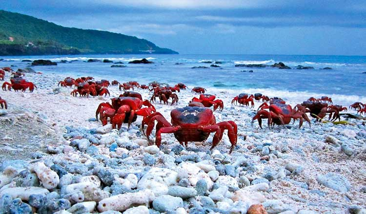 The famous red crabs of Christmas Island.