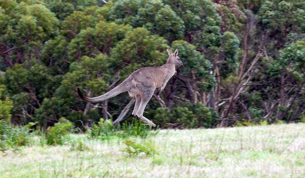 Kangaroo Great Ocean Walk