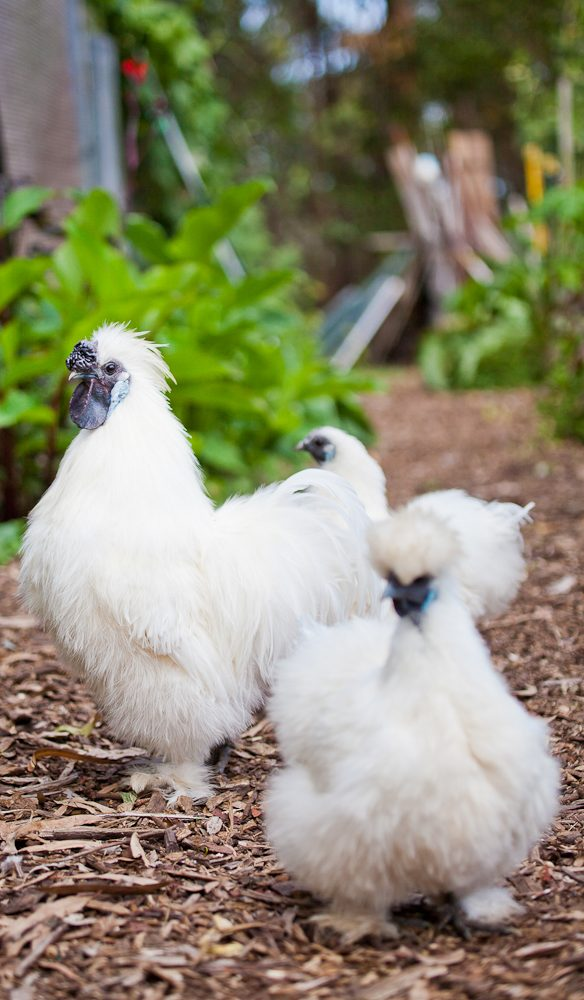 Resident chickens cluck around the organic garden (photo: Jaharn Giles).