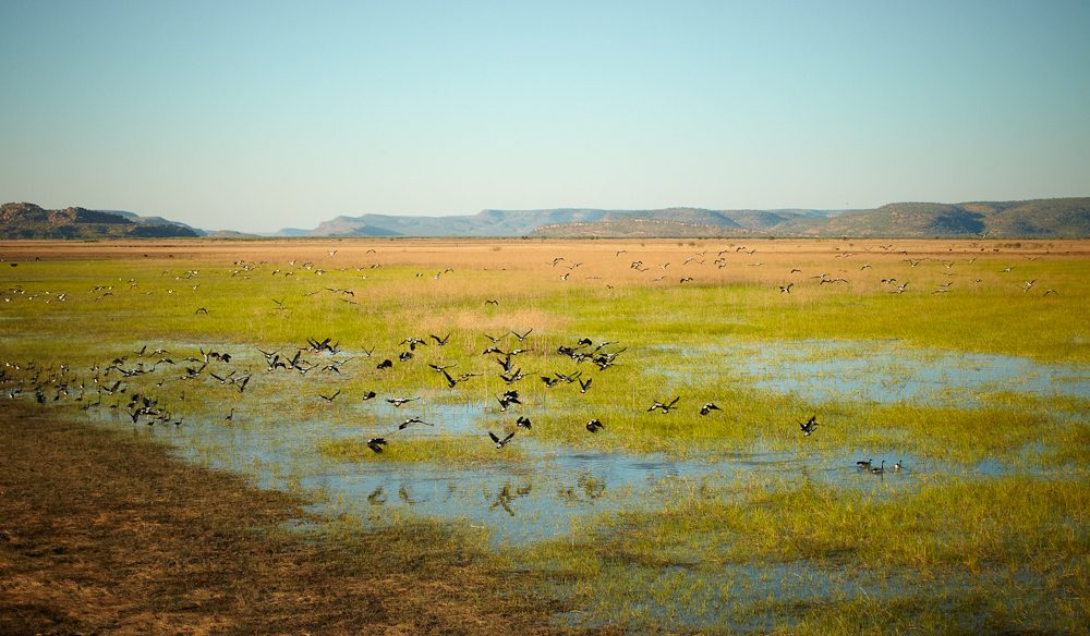 Magpie geese gather on the floodplains of Bullo River Station (photo: Ewan Bell).