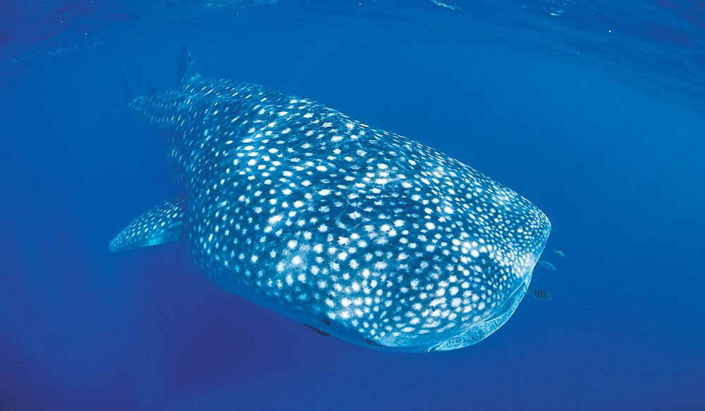 An absolute privilege: swimming with Ningaloo's whale sharks.