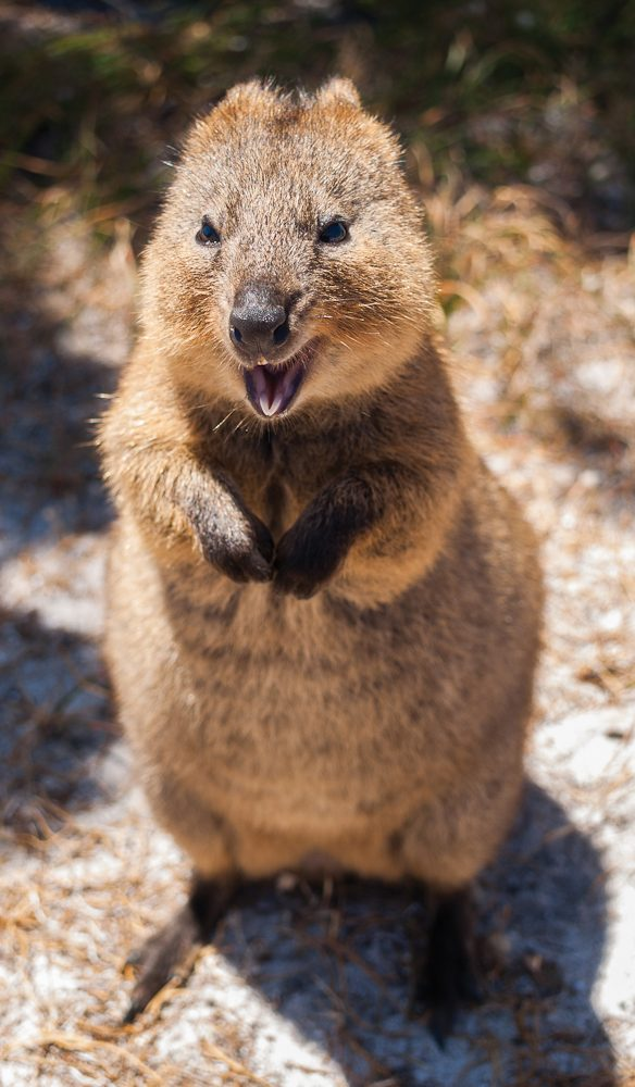 Rottnest Island's unofficial mascot, the quokka.