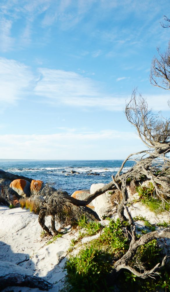 Gnarled branches Bay of Fires