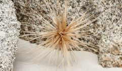The spiky orb of a spinifex gets trapped by wind in the rocks (photo: Corrie Bond).
