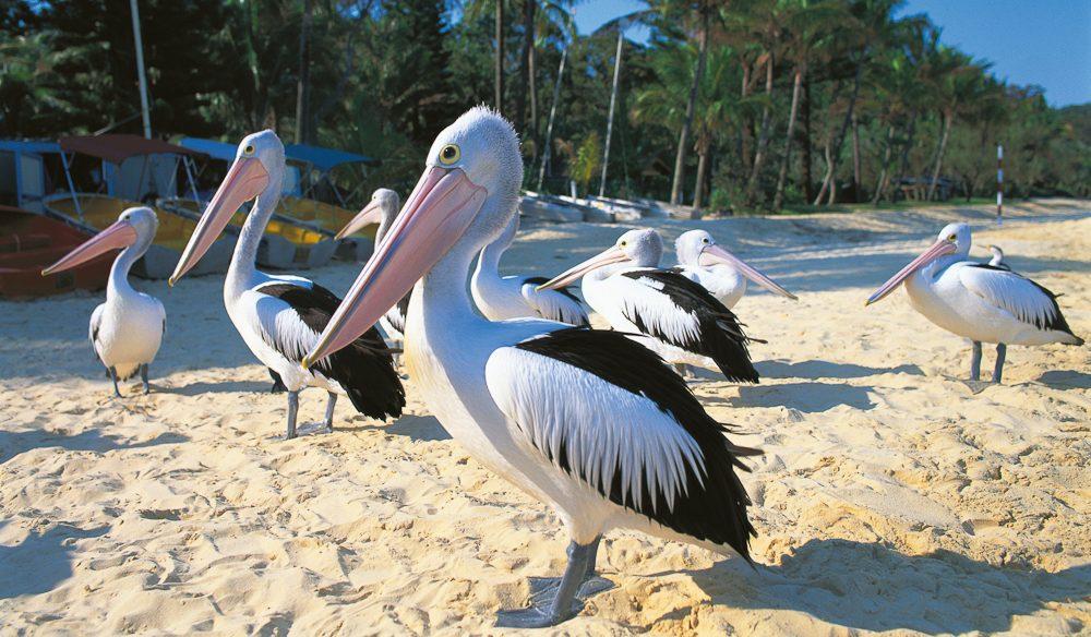 Pelicans Tangalooma Resort Moreton Island