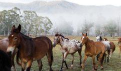 Horses being herded back tothe Baird property (photo: Peter Tarasiuk).
