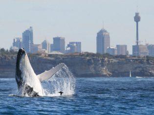 Whales put on a show beyond Sydney's harbour