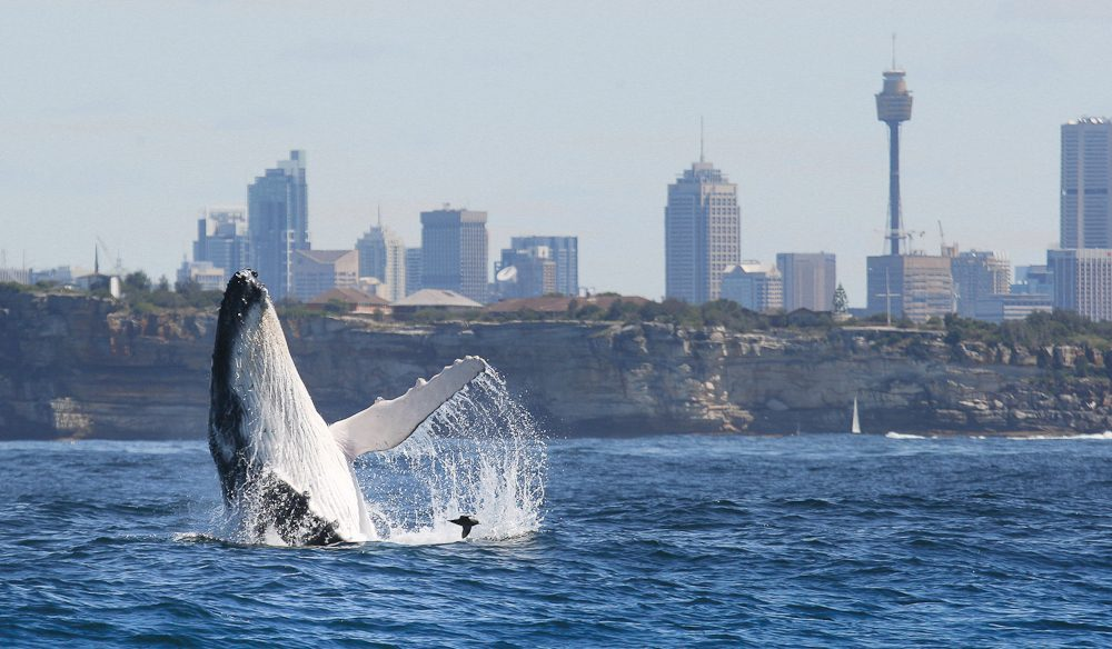 Whales put on a show beyond Sydney's harbour entrance (photo: Whale Watching Sydney).