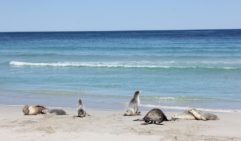 Seal Bay is home to the country's largest Australian sea lion colony.