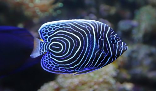 The dazzling patterning of a juvenile emperor angelfish.
