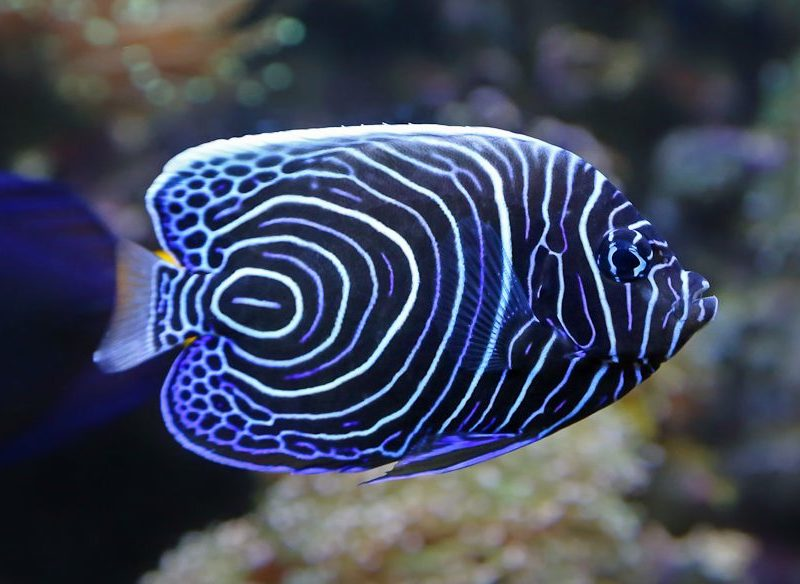 emperor angelfish Great Barrier Reef