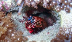 A mantis shrimp protects its burrow with a set of powerful claws.