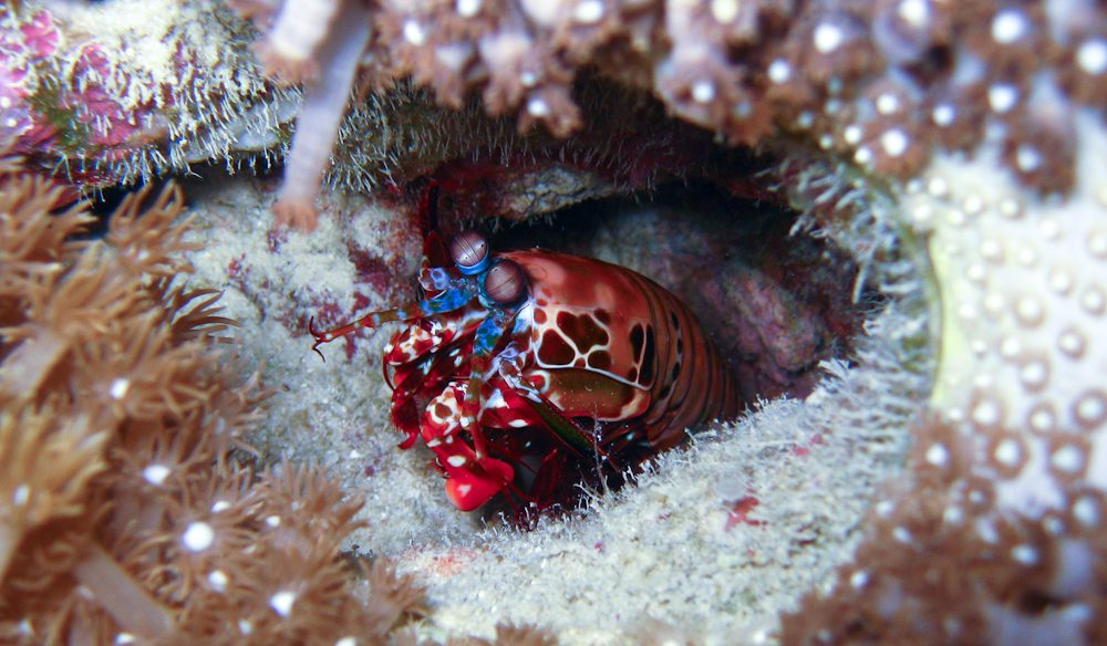 mantis shrimp Great Barrier Reef