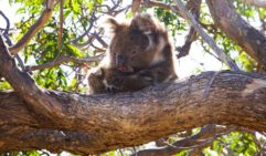 Eye spy: One of the many koalas at Mikkira Station, Eyre Peninsula.