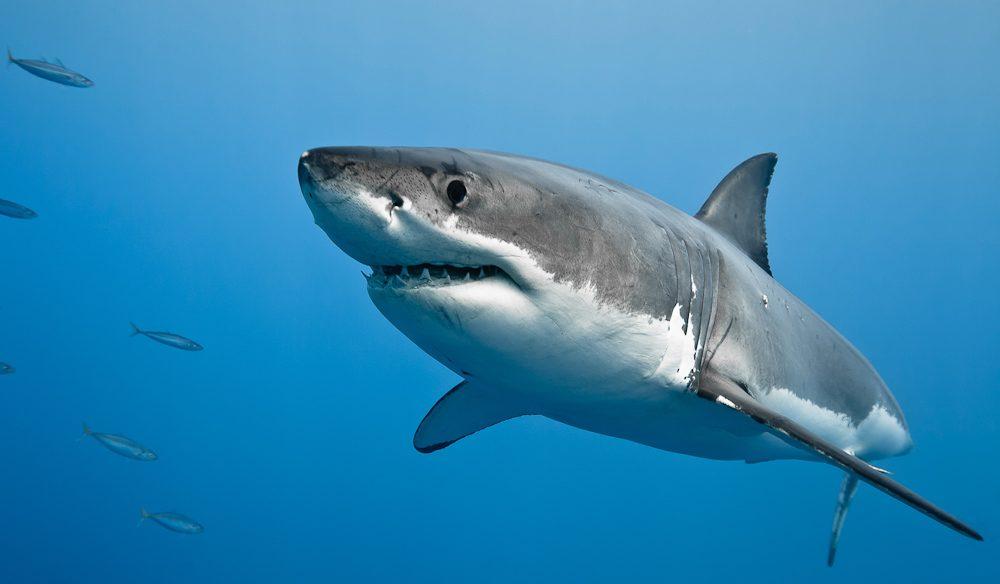 Great White Shark Port Lincoln