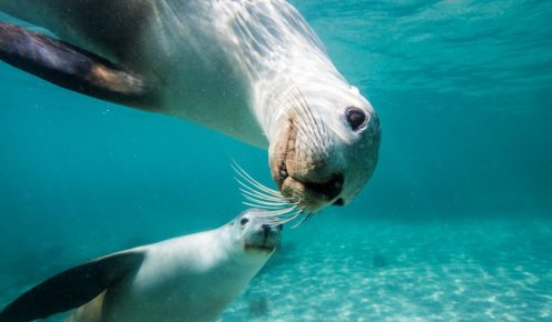 Face to face with one of South Australia's Big 5: a pair of sea lions.