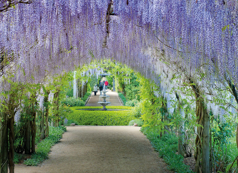 The stunning wisteria's of the Alowyn Gardens