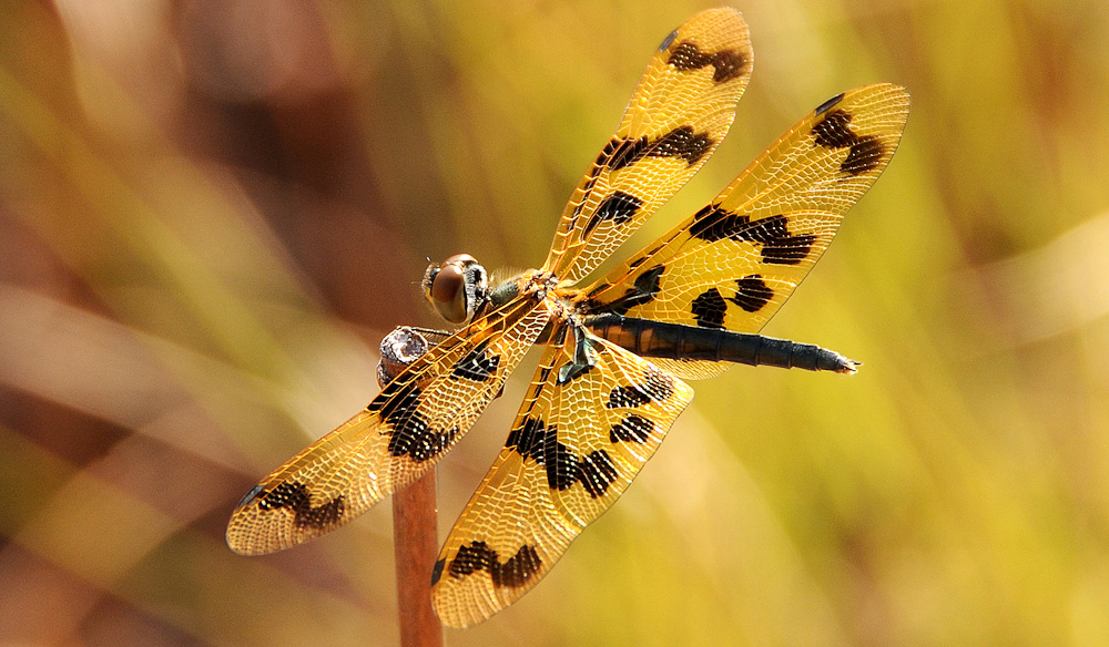 If you're lucky: leopard-spotted small pond dragonflies, Keep River National Park (photo: Melanie Ball).