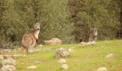 Euro kangaroo and its joey in Arkaba, South Australia (photo: Lara Picone).