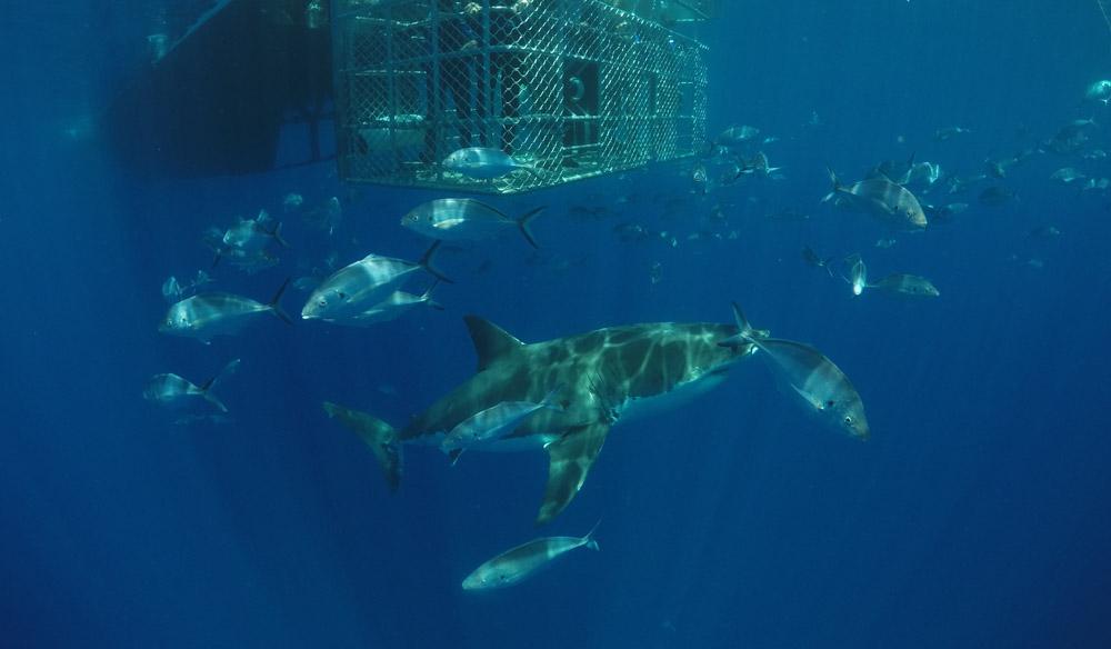 South Australia sharks marine park
