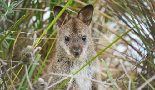 A  furry Bennet's wallaby checks out walkers on Bruny Island (photo: Nathan Dyer).