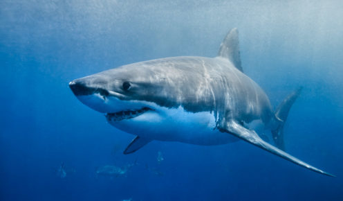 Great whites have been seen at more than six metres in length around Neptune Islands.