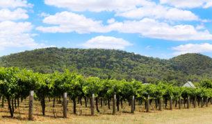 Mudgee vines in summer.