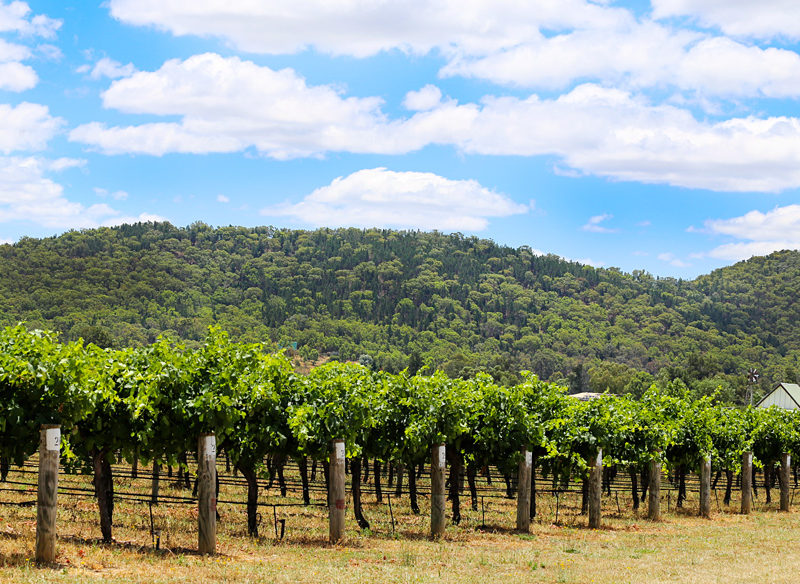 Mudgee vines in summer.